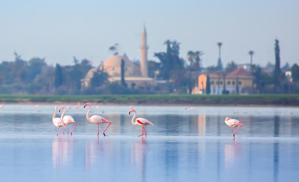 Кирения Фламинго